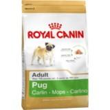Pug Adult (Carlino)